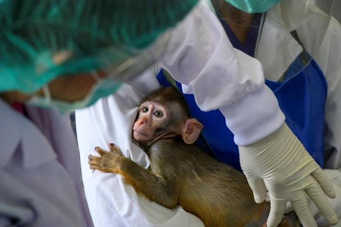 The testing phase on the macaque monkeys came after trials on mice were successful, researchers said (AFP Photo/Mladen ANTONOV)