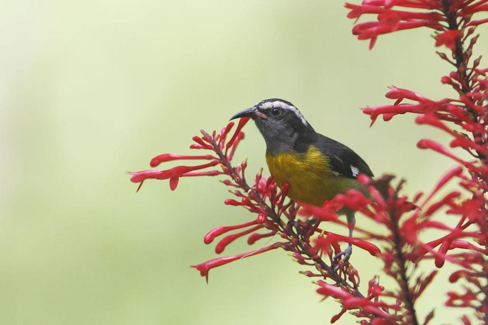 """<p>Pictured here is the Bananaquit, a bird native to Puerto Rico's <a href=""""https://www.discoverpuertorico.com/article/visit-el-yunque-national-forest"""" rel=""""nofollow noopener"""" target=""""_blank"""" data-ylk=""""slk:El Yunque National Forest"""" class=""""link rapid-noclick-resp"""">El Yunque National Forest</a>. Other islands in the Caribbean have native mammals like bats, which have 60 different species here. </p>"""