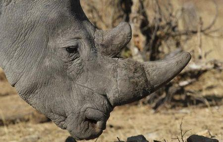 A white rhinoceros moves across grassland at the Imire Rhino and Wildlife Conservation Park near Marondera