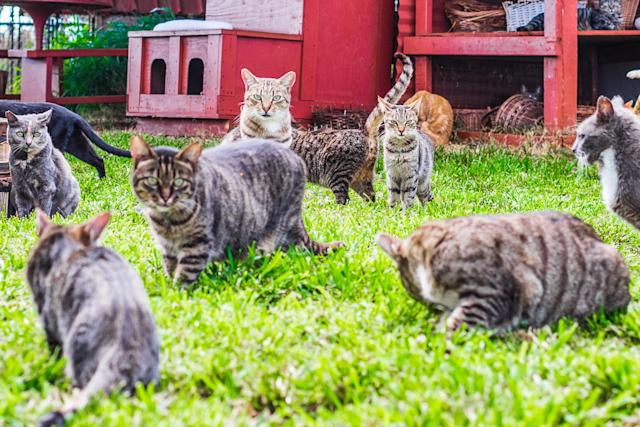 <p>Loads of felines at the Lanai Cat Sanctuary in Hawaii. (Photo: Andrew Marttila/Caters News) </p>