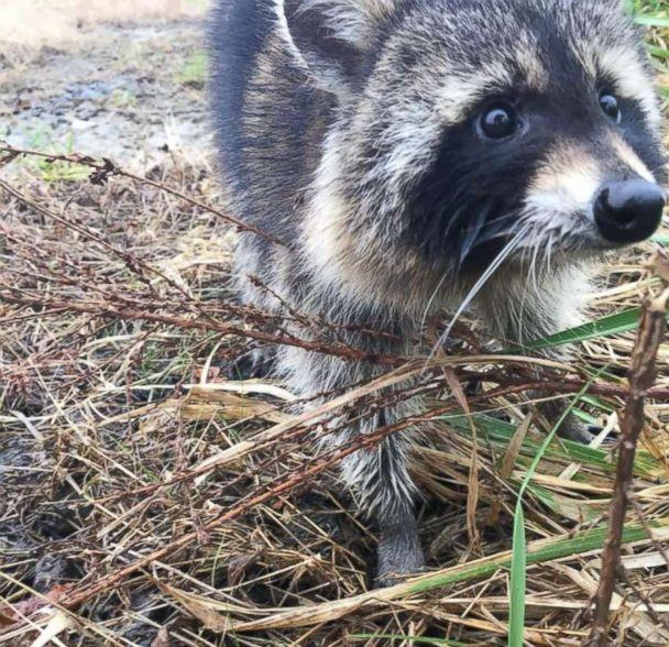 PHOTO: Rabid raccoons that are believed to be drunk on crabapples have been captured by police in Milton, W.V. and returned to the woods, Nov. 12, 2018. (Milton Police Department)
