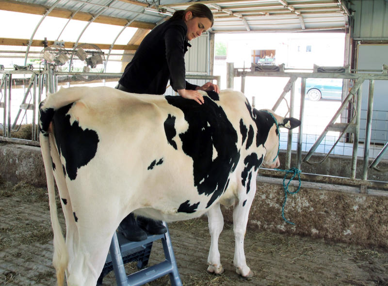 Dairies pamper cows with chiropractors, waterbeds