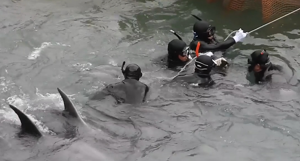Dolphin hunters rope and then net dolphins so they can be hauled onto boats. Source: Dolphin Project