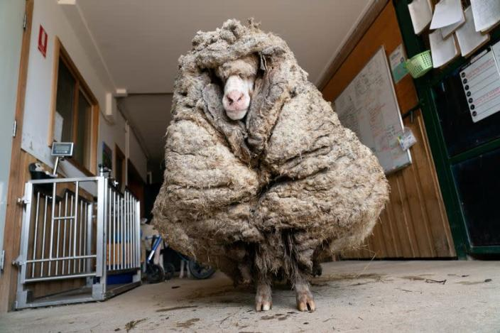Sheep Baarack is seen before his thick wool was shorn in Lancefield, Australia