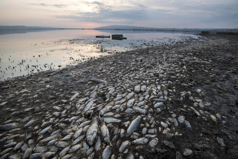 Dead fish lie on the shores of Koroneia Lake in northern Greece, on Thursday, Sept. 19, 2019. Tens of thousands of dead fish are washing up as the water level has plummeted to less than a meter deep (three feet) and the lack of oxygen in the water is leading to mass mortality of everything in it. (AP Photo/Giannis Papanikos)