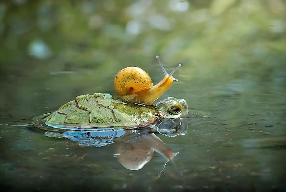 A snail rides on the back of a turtle.