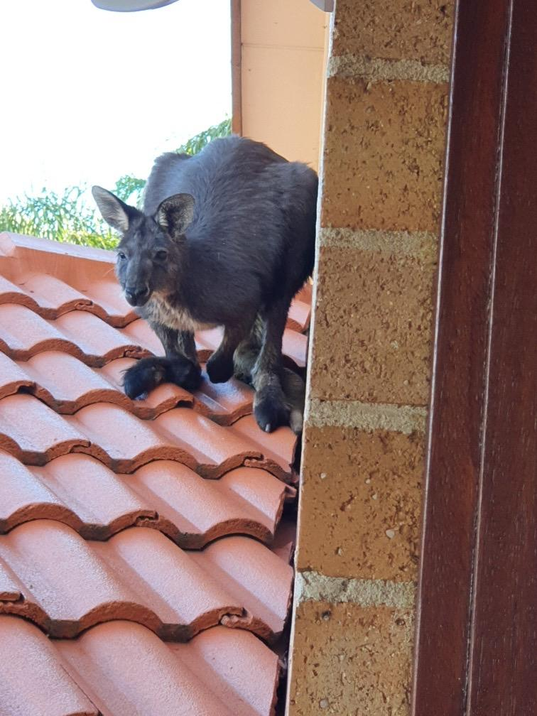 Close up of a wallaroo on a roof.