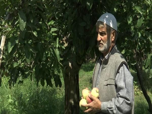 Apples are ready to hit the market and growers are expecting good returns over it in Kashmir. (Photo/ANI)