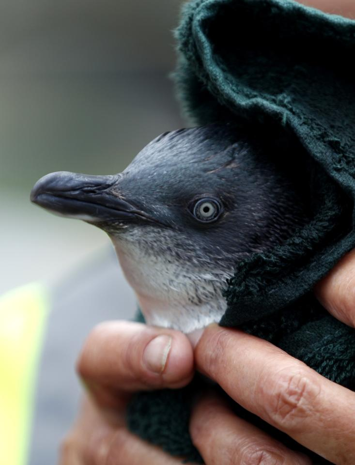 A rescue worker dries a little blue penguin after it swam in a water pool during a cleaning session to get rid of fuel oil from its body at the wildlife facility in Tauranga, New Zealand, Friday, Oct. 14, 2011. The penguin was rescued from the sea polluted by oil leaked from the Liberia-flagged container ship Rena that has already spilled hundreds of tons of oil since it ran aground Oct. 5 on Astrolabe Reef, 14 miles (22 kilometers) from Tauranga Harbour on New Zealand's North Island. (AP Photo/Natacha Pisarenko)