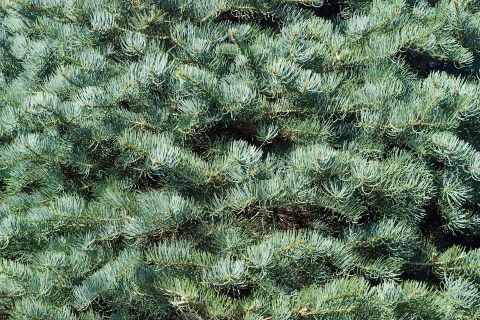 "<p>Also called the Concolor Fir, this tree has been gaining in popularity. ""It has a pleasant blue/green silvery color and the needles when crushed have <strong>a pleasant citrus aroma</strong>,"" Radin says. ""It also has excellent needle retention.""</p>"
