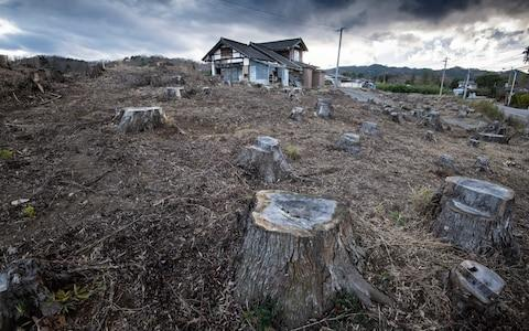 Tree stumps on land that has been decontaminated in Namie Town - Credit: Simon Townsley