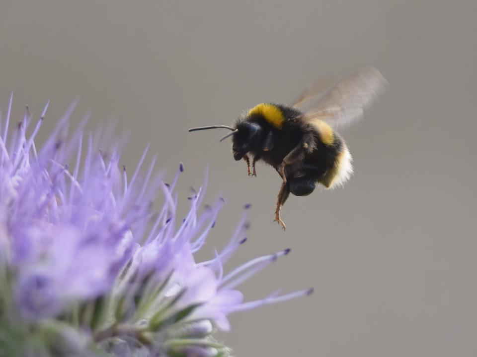 <p>Plight of the bumblebee: Both bees and flies struggle to catch a few Zs after coming into contact with neocotinoids</p> (Getty)