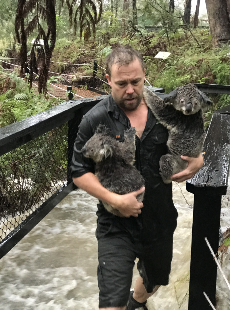 A staff members can be seen carrying two soaked koalas to safety. Source: The Australian Reptile Park