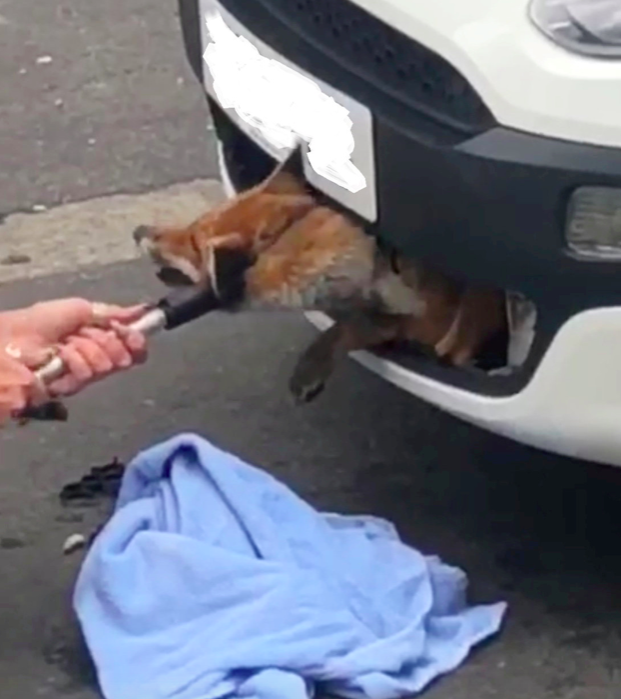 <p>A fox was found wedged in a front car grille more than 12 hours after being hit in an accident in Hertfordshire. (SWNS) </p>