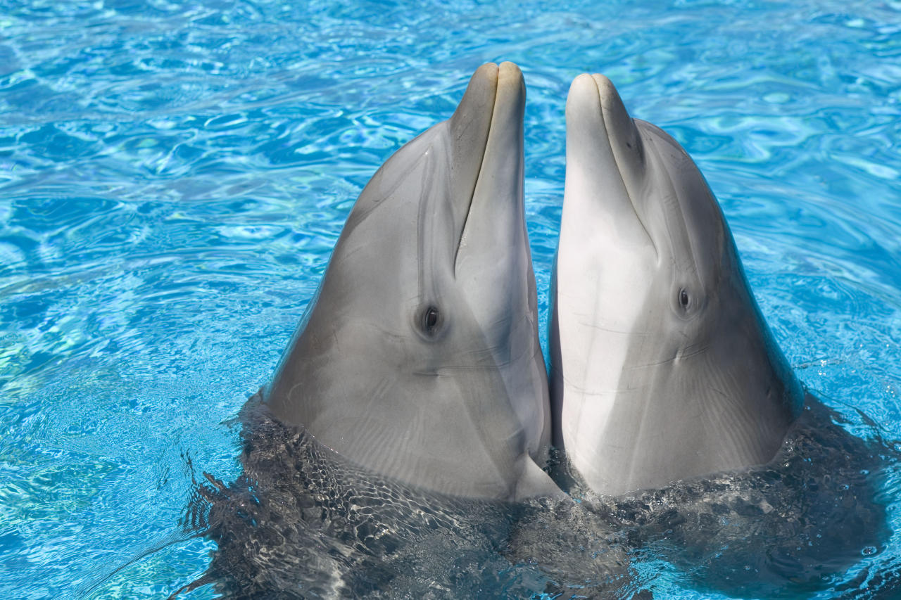 ** MANDATORY BYLINE ** PIC BY AUGUSTO LEANDRO STANZANI / ARDEA / CATERS NEWS - (Pictured two bottlenose dolphins rubbing bellies) - From a loving look to an affectionate nuzzle, these are the charming images of cute creatures cosying up for Valentines Day. And as the heart-warming pictures show the animal kingdom can be just as romantic as us humans when it comes to celebrating the big day. SEE CATERS COPY.