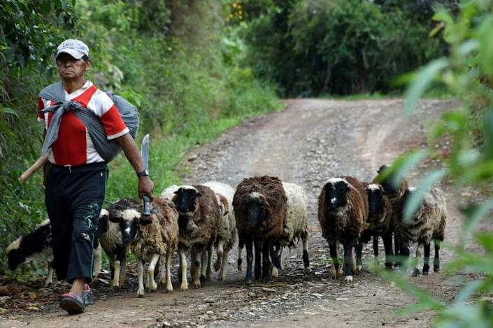 A coca farmer herding his sheep neasr the village of Cruz Loma, where locals have no time for former president Evo Morals, seen as a champion by coca growers in other areas (AFP Photo/AIZAR RALDES)