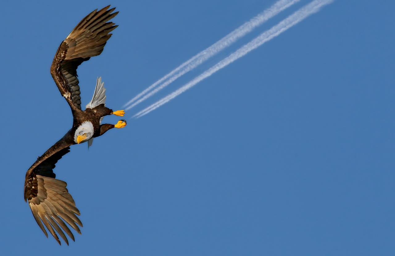This bald eagle may look like it is jet propelled - but it's actually been photographed as an airplane flies in the distance. In a once-in-a-lifetime shot, the engines' exhaust trails appear as if they are billowing out of the bird's talons as it soars through the air. The extraordinary moment was captured on camera by Pam Mullins close to her home in Prince Rupert, British Columbia, Canada. Production manager Pam, 49, said she was stunned when she looked back at her photographs and realized what she had photographed. (Photo: Pam Mullins/Solent News/Rex/Rex USA)