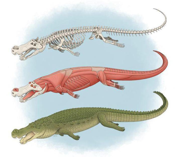 An illustration of Deinosuchus from the journal's cover. / Credit: Tyler Stone