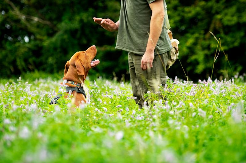 Beautiful Hungarian Vizsla puppy and its owner during obedience training outdoors. Sit command side view.