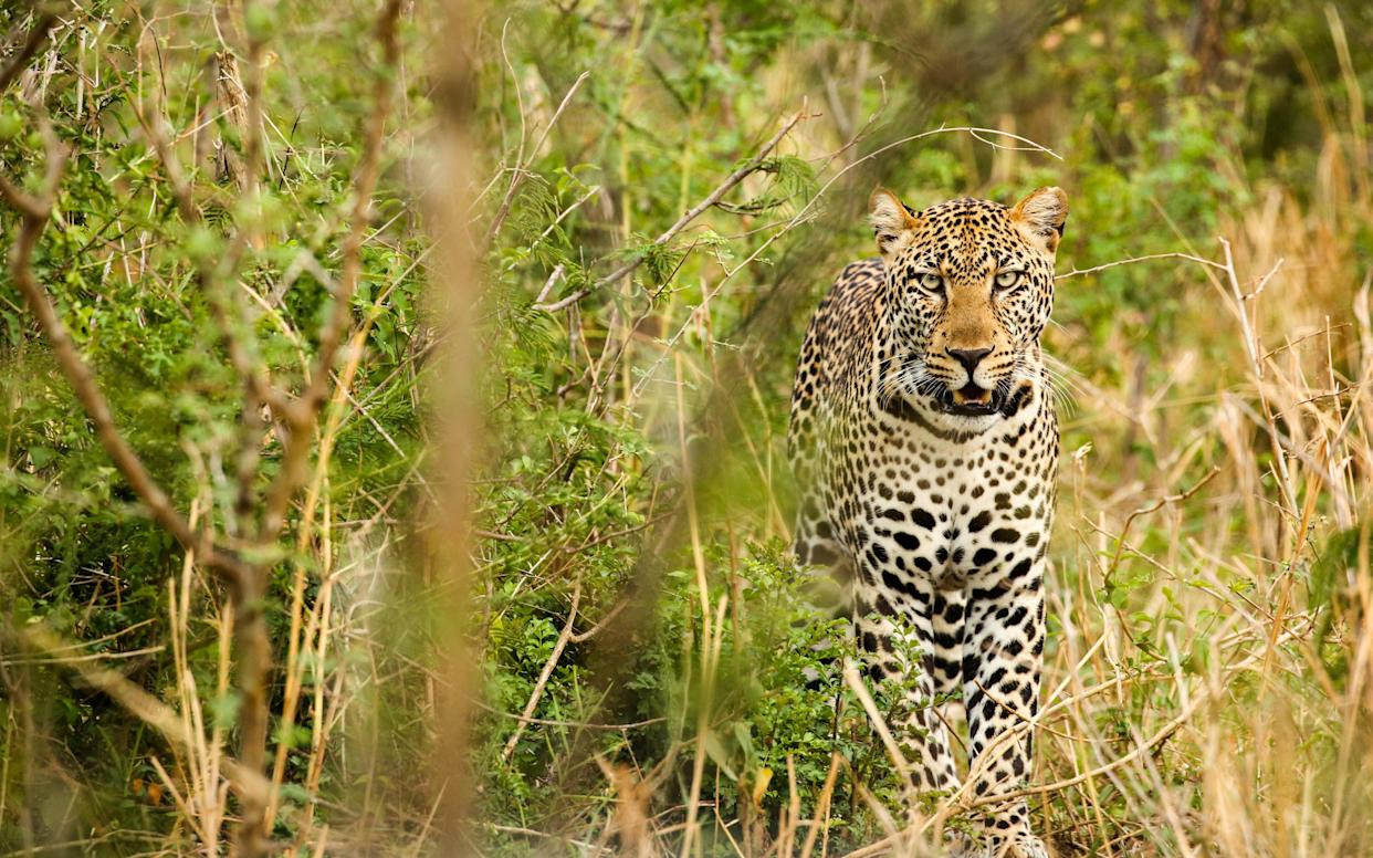 Leopard in Uganda's Murchison Falls National Park, Uganda, Africa - This content is subject to copyright.