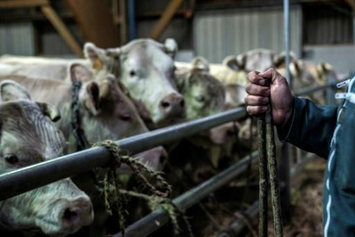 <p>French brace for 'massive' imports of South American beef</p>