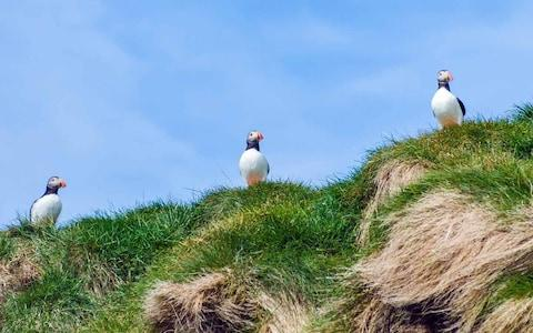 See puffins on an Icelandic cruise - Credit: istock