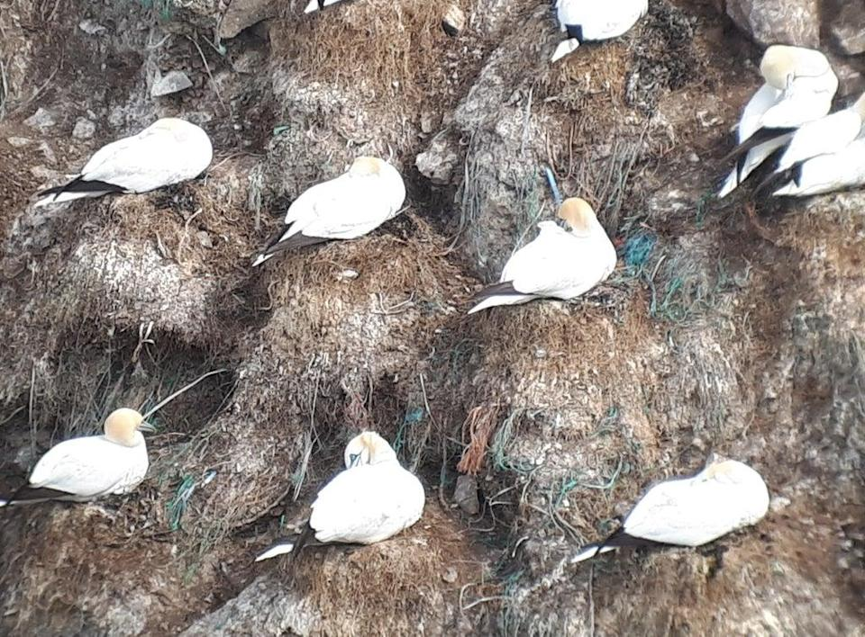 Gannets on Fair Isle in Scotland, with green and blue plastic debris clearly visible (Nina O'Hanlon, Environmental Research Institute)