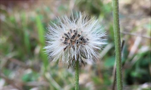 Country diary: the killer role of pollen in the hawkweed's life cycle
