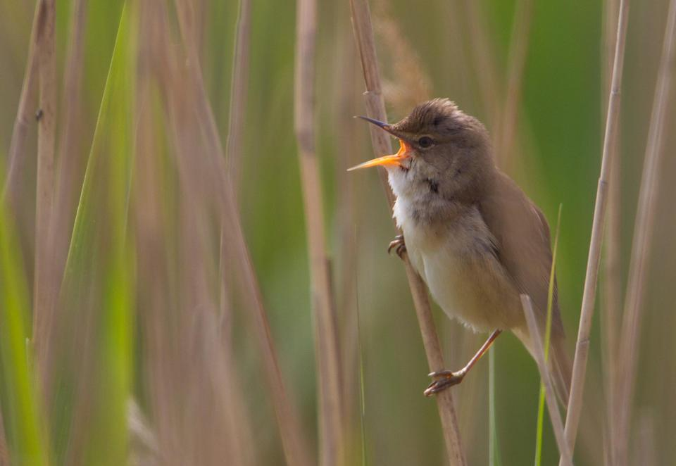 Reed warblers are among the wildlife found at the newly designated SSSI (Natural England/AllanDrewitt/PA)