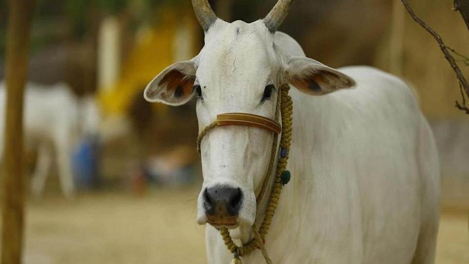 """UGC wants university students to write the """"cow science"""" exam"""