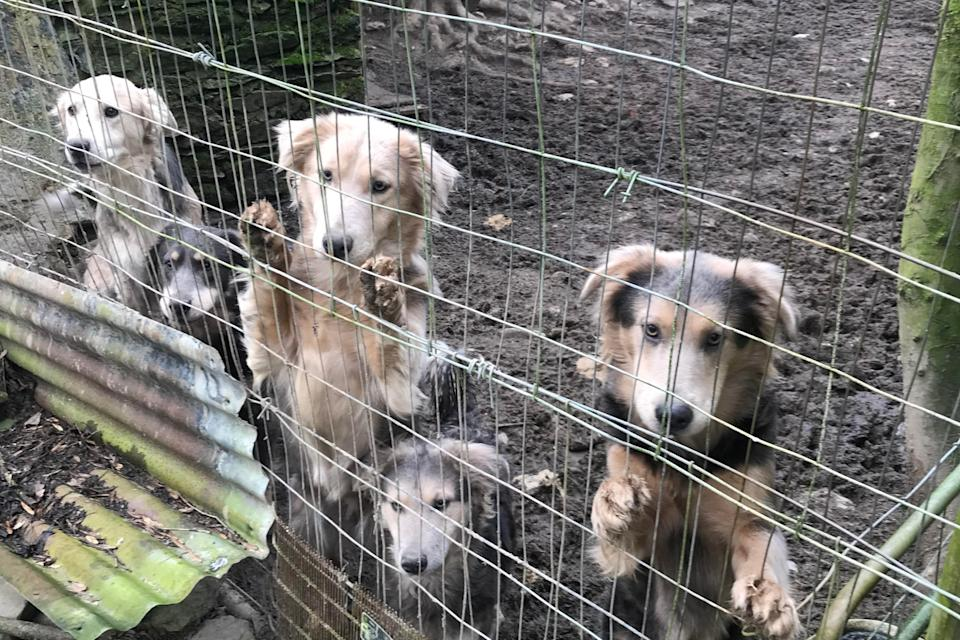 45 dogs were rescued from the farm in Wales