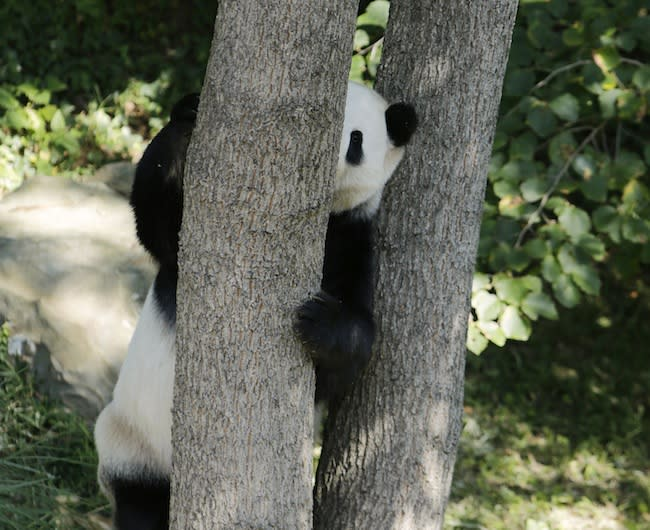 Tian Tian, a giant panda at the Smithsonian's National Zoo, hides behind a tree on September 30, 2013. (Reuters)