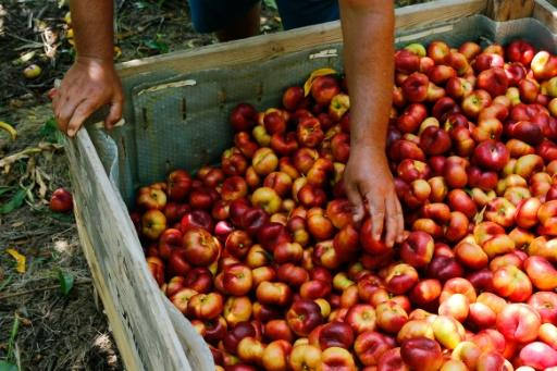 Eighty percent of the fruit from the Fraga region is earmarked for export with a market value of 60 million euros
