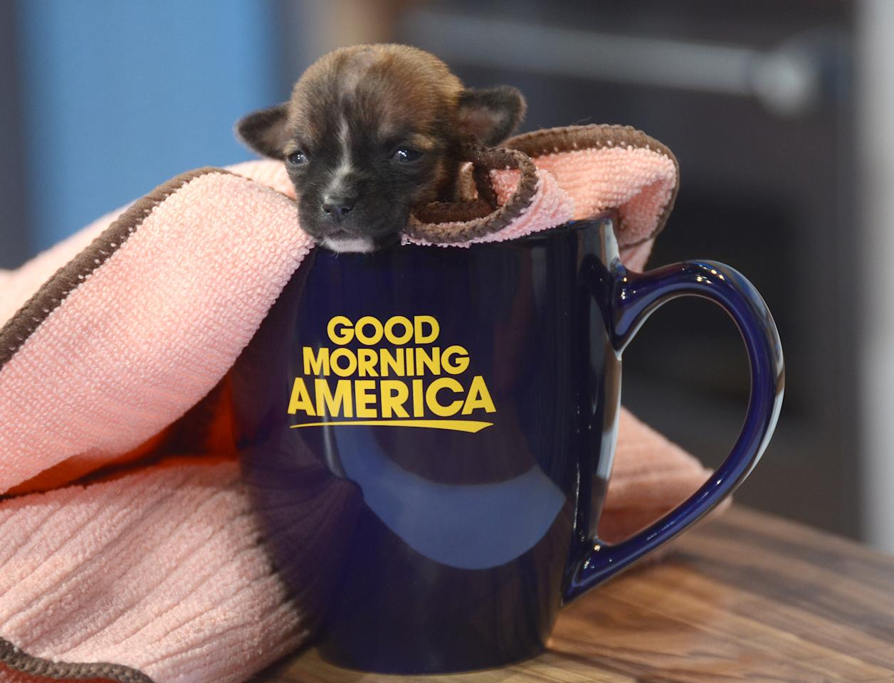 """Beyonce, the tiny rescue dog who survived against the odds, can fit into a """"Good Morning America"""" coffee cup. In about six weeks, Beyonce will be up for adoption through the <a target=""""_blank"""" href=""""http://www.thegracefoundation.com/"""">Grace Foundation in Northern California</a>."""
