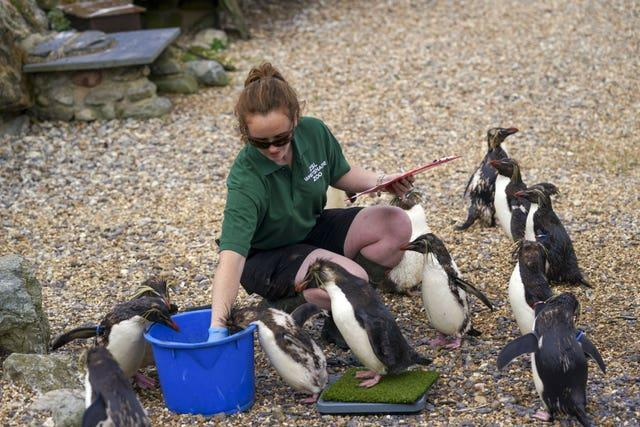 Northern rockhopper penguins with keeper Claire McSweeney