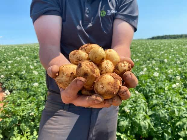 The P.E.I. Potato Board appeared before a legislative standing committee looking for a sustainable irrigation strategy.  (Cody MacKay/CBC - image credit)
