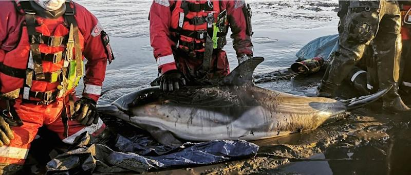 Undated handout photo issued by Essex County Fire & Rescue Service of firefighters rescuing two dolphins after they became stuck in mud near Standford-le-Hope in Essex. PA Photo. Issue date: Monday January 20, 2020. See PA story ANIMALS Rescue. Photo credit should read: Essex County Fire & Rescue Service/PA Wire NOTE TO EDITORS: This handout photo may only be used in for editorial reporting purposes for the contemporaneous illustration of events, things or the people in the image or facts mentioned in the caption. Reuse of the picture may require further permission from the copyright holder.