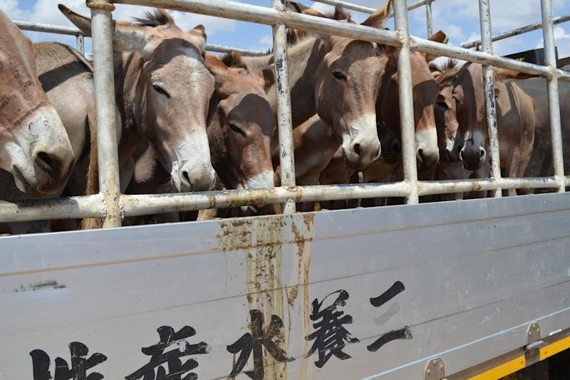 Donkey's being transported by truck from a market in Tanzania (The Donkey Sanctuary)