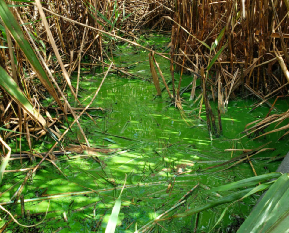 'Very Fast Death Factor' being released from algal blooms, scientists find