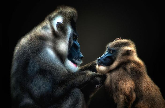 A mandrill touches another mandrills chin. (Photo: Pedro Jarque Krebs/Caters News)