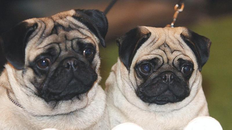 Flat-faced dogs remain popular despite health problems, study finds