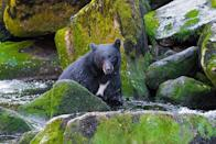 """<p>The <a href=""""http://www.wrangell.com/visitorservices/anan-bear-and-wildlife-observatory """" rel=""""nofollow noopener"""" target=""""_blank"""" data-ylk=""""slk:Anan Bear Observatory"""" class=""""link rapid-noclick-resp"""">Anan Bear Observatory</a> offers a glimpse at one of nature's most majestic creatures. The viewing platform and photo blind are situated above cascading falls where salmon jump right into the paws of bears. (Flickr photo by <a href=""""https://flic.kr/p/hkkeYL """" rel=""""nofollow noopener"""" target=""""_blank"""" data-ylk=""""slk:Andrew E Russell"""" class=""""link rapid-noclick-resp"""">Andrew E Russell</a>) </p>"""