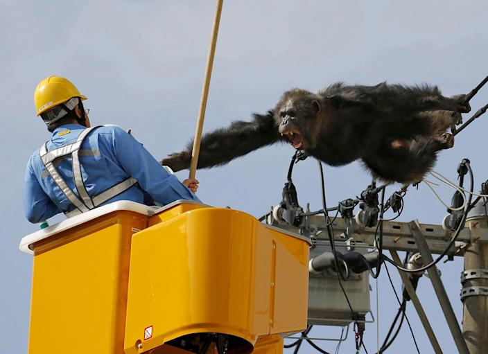 <p>APR. 14, 2016 — Male chimpanzee 'Chacha' screams after escaping from nearby Yagiyama Zoological Park as a man tries to capture him on the power lines at a residential area in Sendai, northern Japan. The chimp was eventually caught after being shot with a tranquilizer gun and falling from the power lines. (Kyodo/Reuters) </p>
