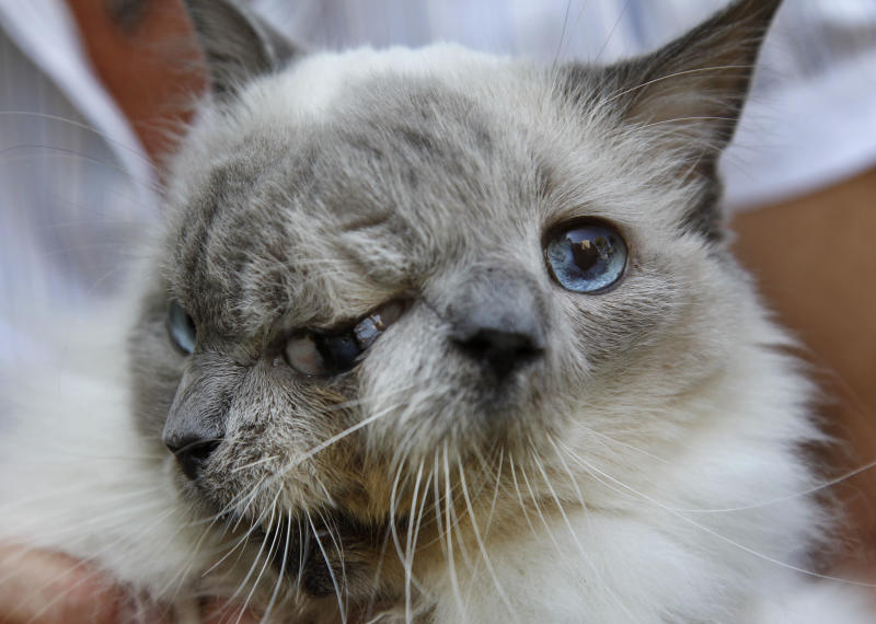In this Wednesday, Sept. 28, 2011 photo, a cat with two faces, named Frank and Louie, one name for each face, is held by the cats owner, who identified herself only as Marty, at their home in Worcester, Mass. The animal is known as a Janus cat, named for the figure in Roman mythology with two faces on one head. The owner calls the face on the left Frank, while the face on the right is identified as Louie. (AP Photo/Steven Senne)