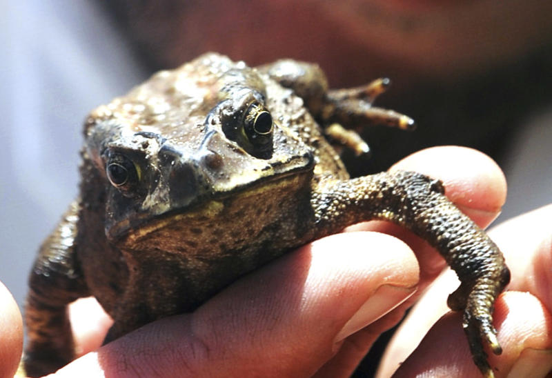 In this photo taken on Wednesday, Dec. 19, 2012 and made available by  the Independent Newspapers Limited South Africa,  an Asian toad that was found inside a candlestick at a Cape Town South Africa store. They say cats have nine lives. Now a Chinese toad has joined that club of wily survivors.  South Africans are marveling at the endurance of a toad that got trapped in a cargo shipment from China to Cape Town after jumping into a porcelain candlestick that was made there. South African officials reportedly planned to put down the creature, fearing it would cause harm as an invasive species if it were let go in the wild.  But the toad got a last-minute reprieve. Mango Airlines, a South African airline, transported the toad on Friday to Johannesburg for delivery to an animal sanctuary after officials decided to find a way to let the globe-trotting toad live. The two-hour flight was a breeze compared to the trip from China, an odyssey of many weeks and thousands of kilometers (miles) across the Indian Ocean.  (AP Photo/ Independent Newspapers Limited) SOUTH AFRICA OUT CREDIT MANDATORY NO SALES/ARCHIVES