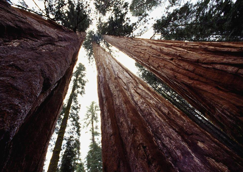 """<p>You've heard of California's renowned redwoods, but did you know about its sequoias? While redwood trees stand as the tallest trees in the world, sequoias are the largest. The <a href=""""http://www.livescience.com/39461-sequoias-redwood-trees.html"""" rel=""""nofollow noopener"""" target=""""_blank"""" data-ylk=""""slk:biggest sequoia in the world"""" class=""""link rapid-noclick-resp"""">biggest sequoia in the world</a>, a tree fondly known as General Sherman, can be found in the state's Sequoia National Park. Believe it or not, General Sherman is 275 feet tall, 102 feet wide, and weighs 2.7 million pounds.</p>"""