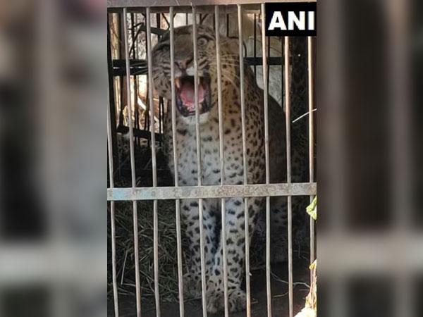Man-eater leopard captured by forest officials in Uttarakhand. (Photo/ANI)