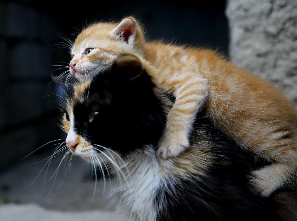 <p>The cat named Moi, belongs to Ozsoy family, adopts an abandoned kitten in Konya, Turkey. Moi breastfeeds and takes care this abandoned kitten as well. (Abdullah Coskun/Anadolu Agency/Getty Images) </p>