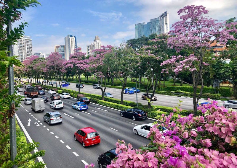 Trumpet Trees along Central Expressway, near Moulmein Flyover. Photo: Andrew Tau/NParks Facebook page