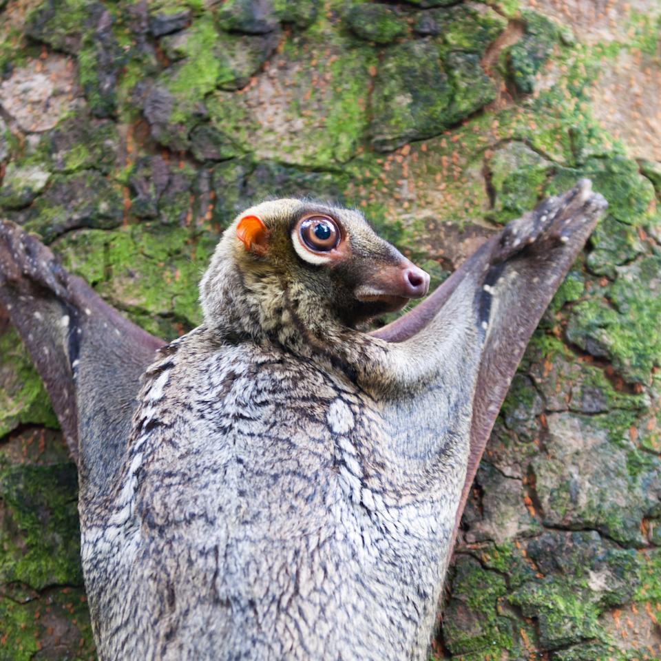 A Sunda flying lemur (Galeopterus variegatus) clings to a tree in the rainforests of Southeast Asia.